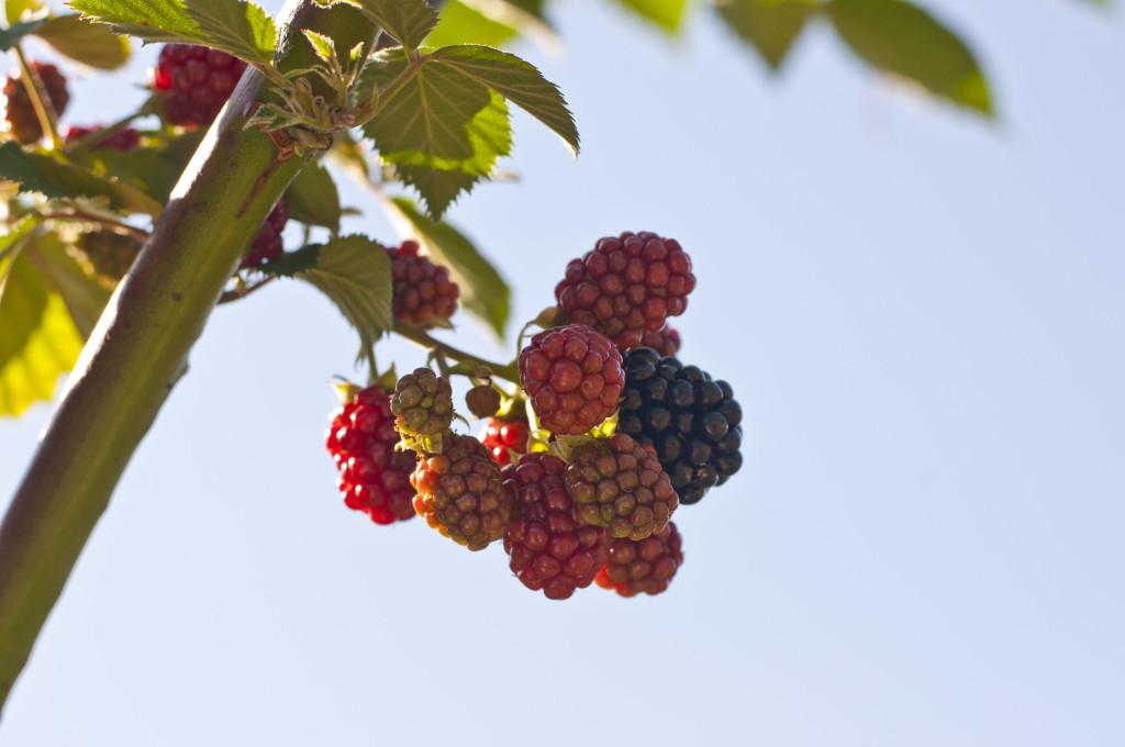 rasberries