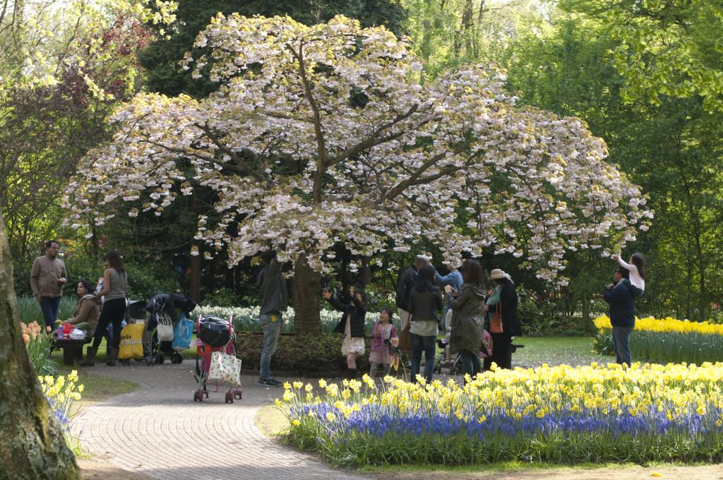 petals fall under cherry trees