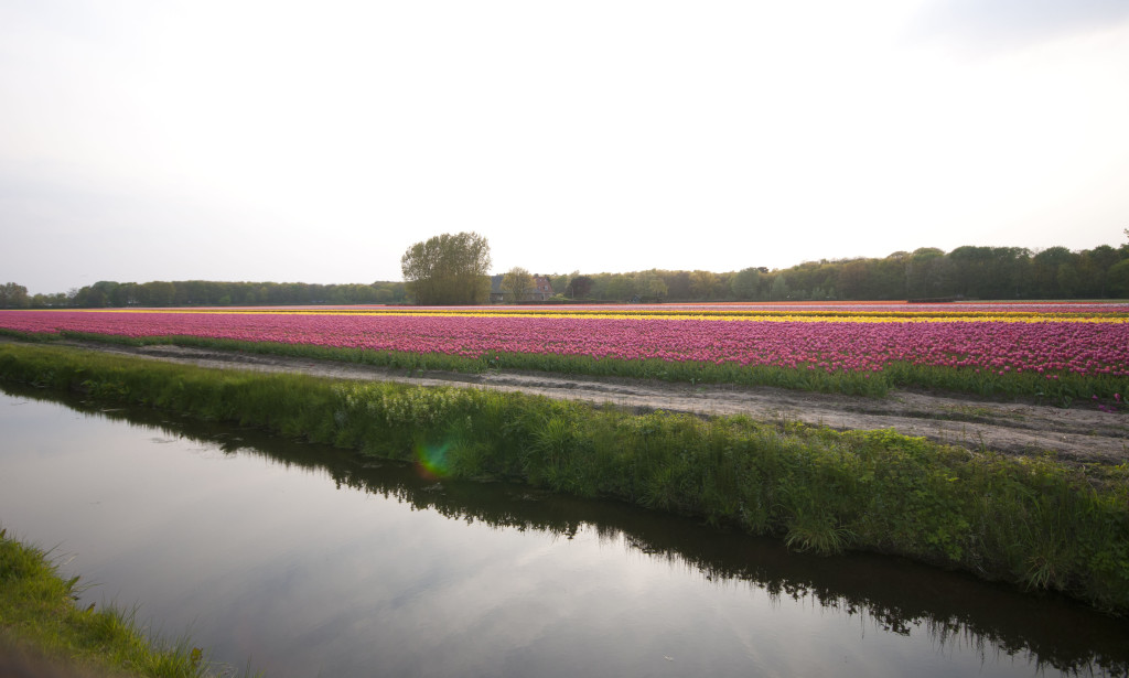tuplip fields at 7-00pm