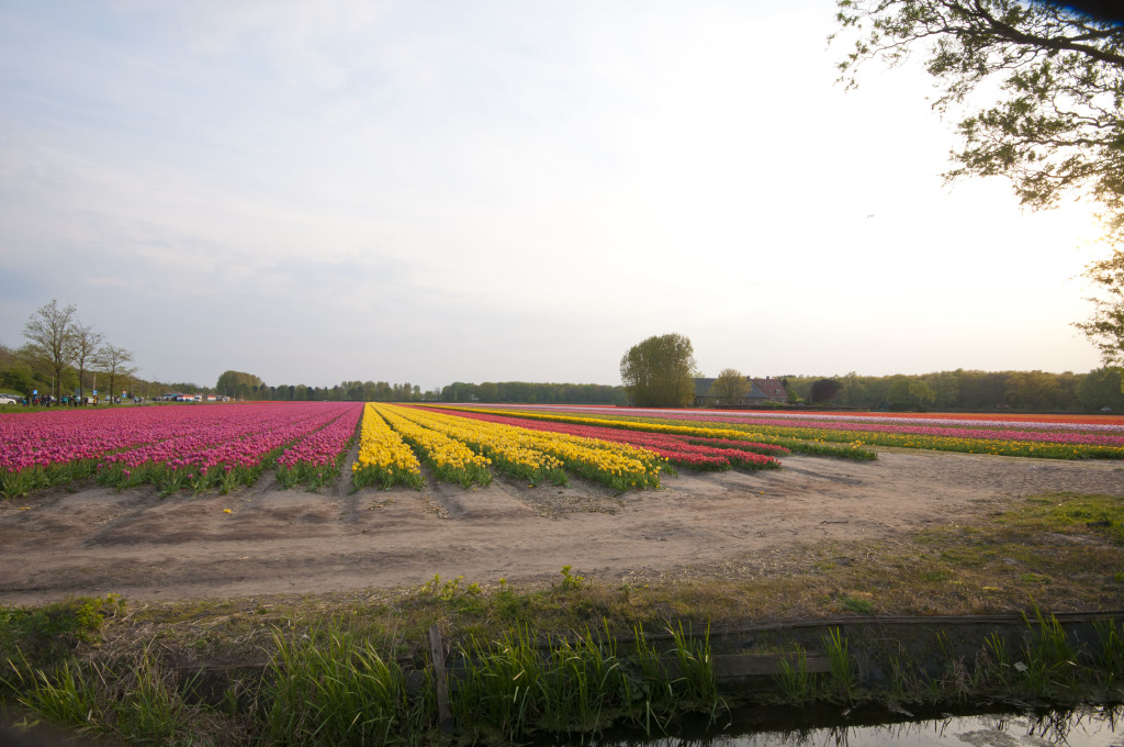 tuplip fields at 7-00pm 2