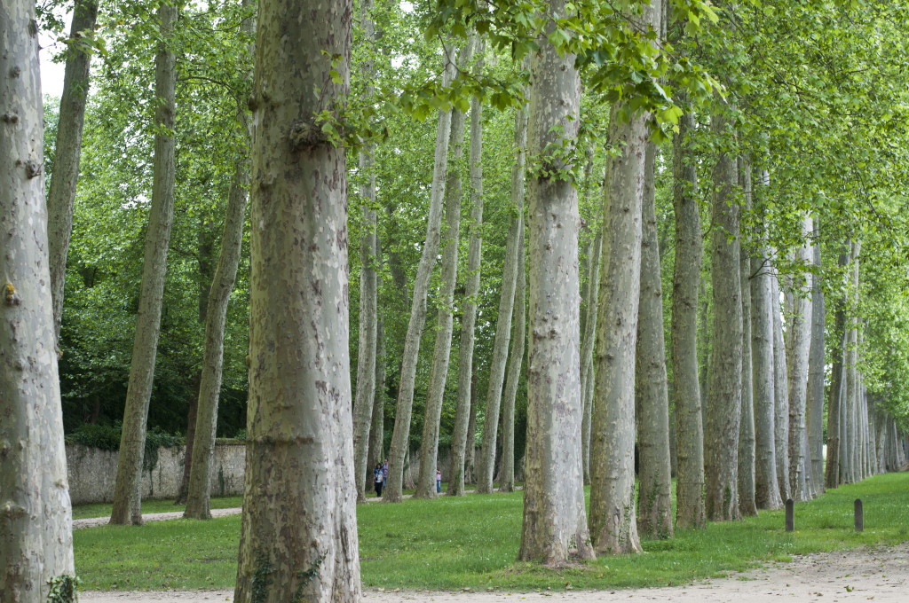 trees all in rows