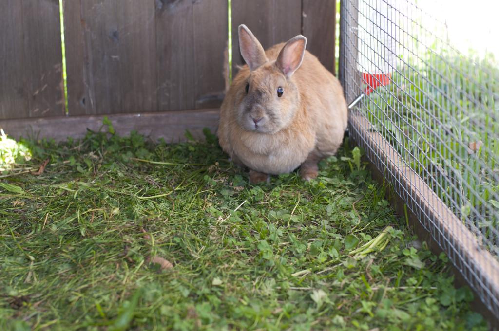 farm bunny