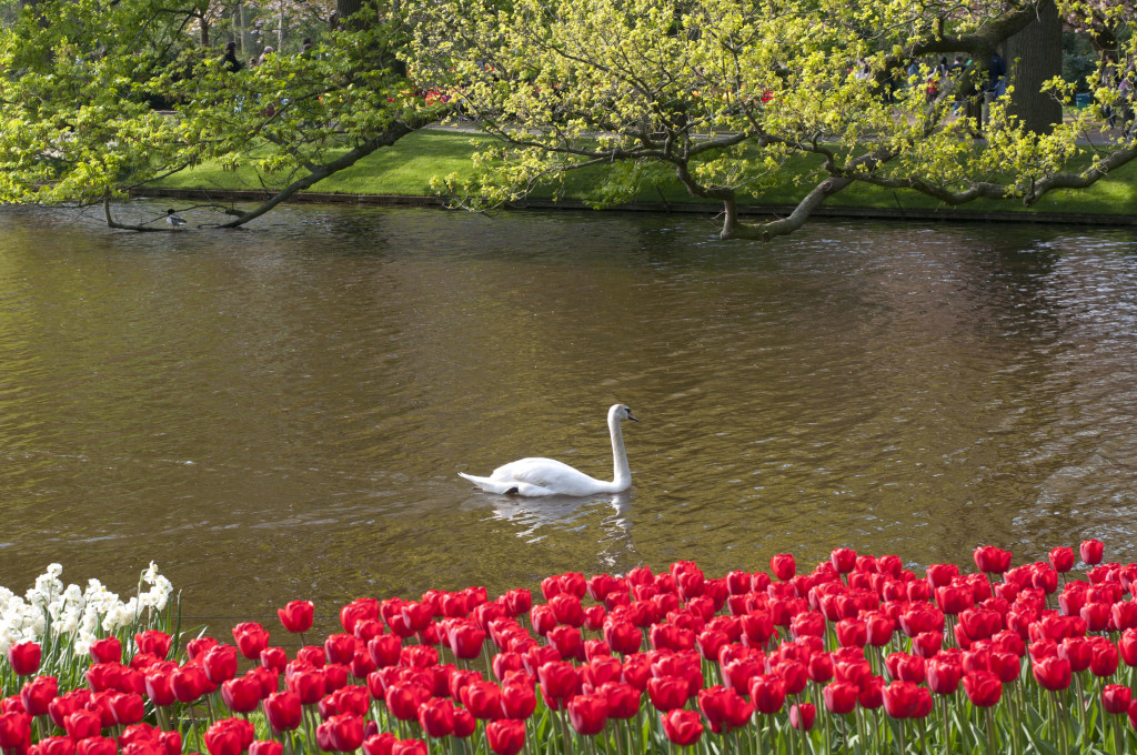 swan too_